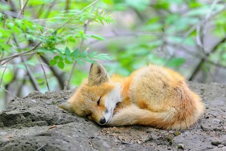 Amazing-Awesome-Cute-Fox-Baby-25.jpg