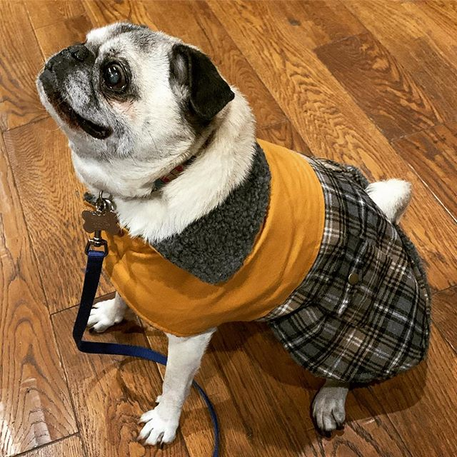 Look at this Pug in our Plaid Duck Vest. #PATC 🖤🐾 . . . #winterfashion #petfashion #fashion #itsalifestyle #lifestylepost #lifestyle #dogsofinstagram #catsofinstagram #furbaby #animallover #animalrescue #dogwalker #doggydaycare #crownheights #brooklyn #newyork #petlovers #petshop #petstore  #groomersofinstagram  #petsittersofinstagram #dogwalkersofinstagram #animaltips #funfacts #funnyjokes #animaljokes