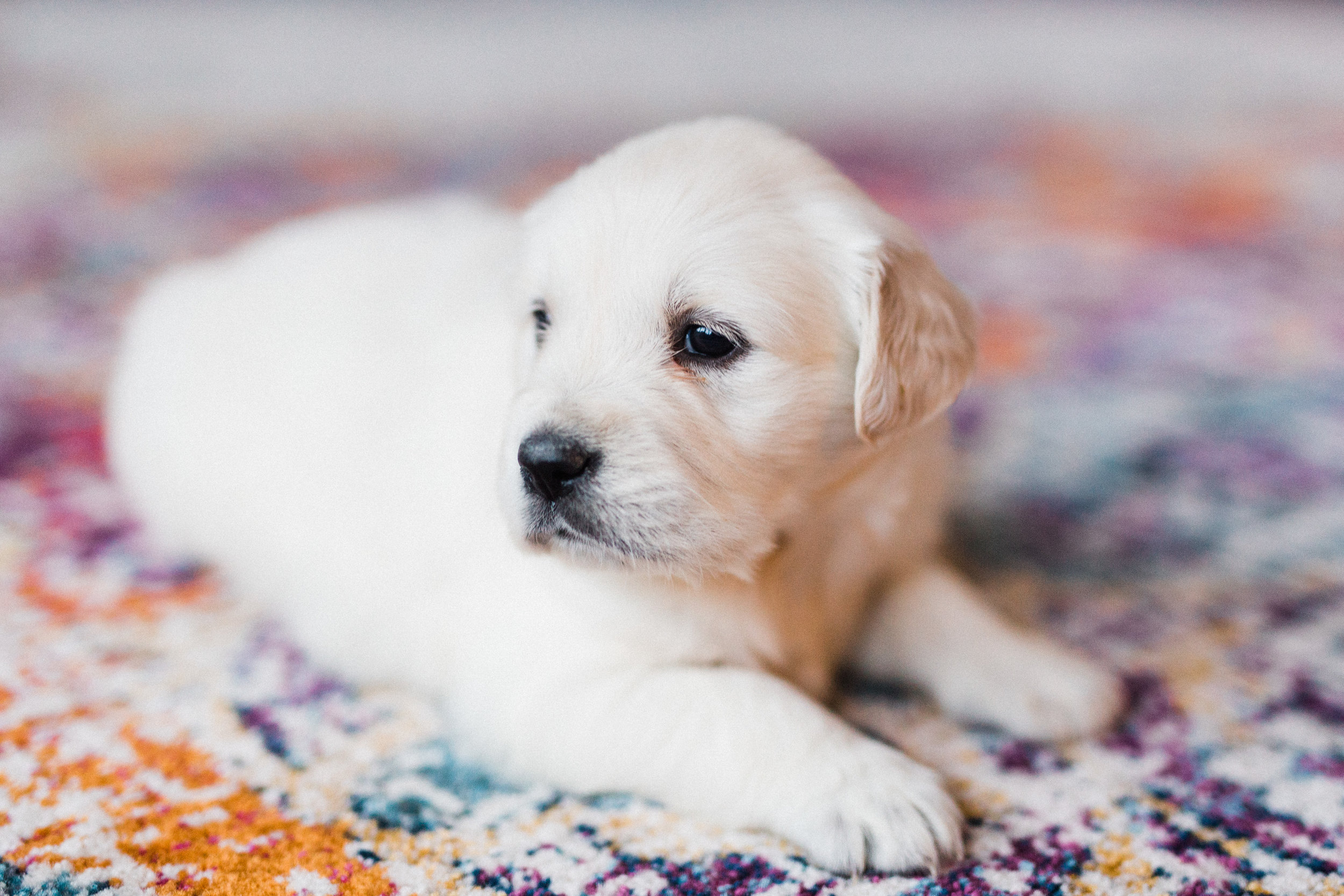 Charlotte Bingley's First Puppies-7.jpg
