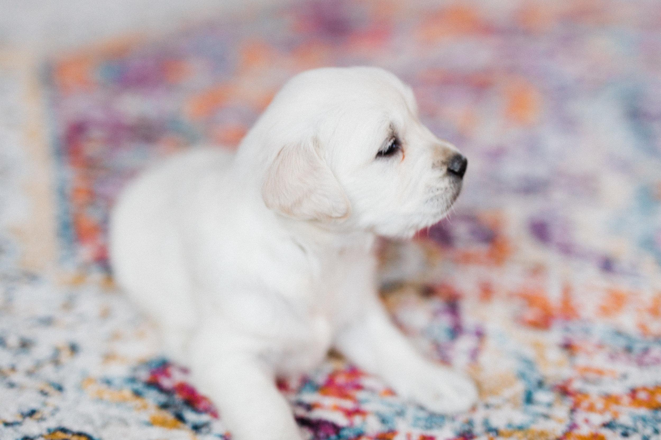 Charlotte Bingley's First Puppies-1.jpg