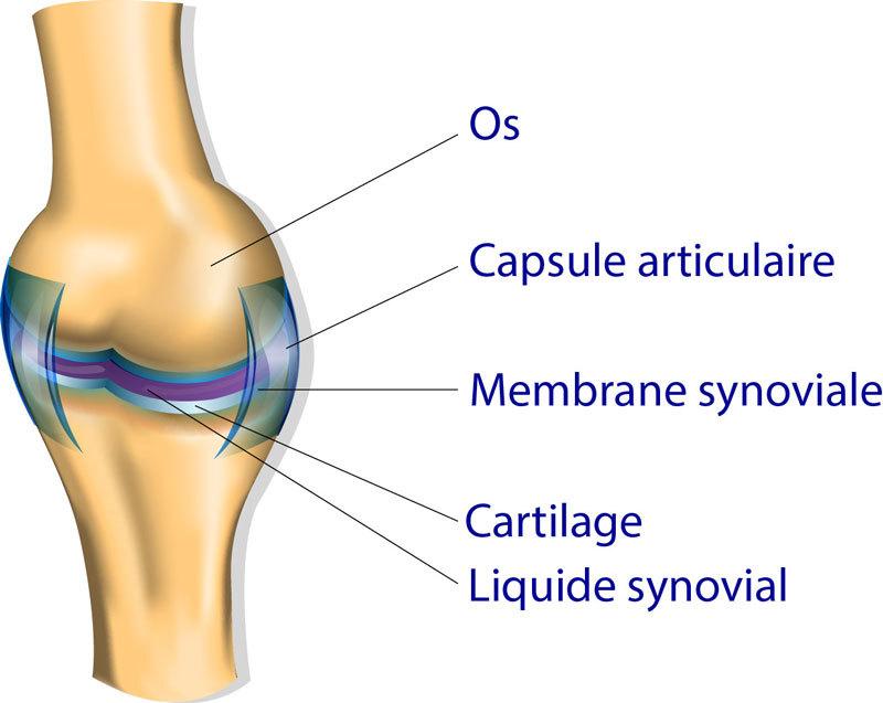 articulation capsule synovie