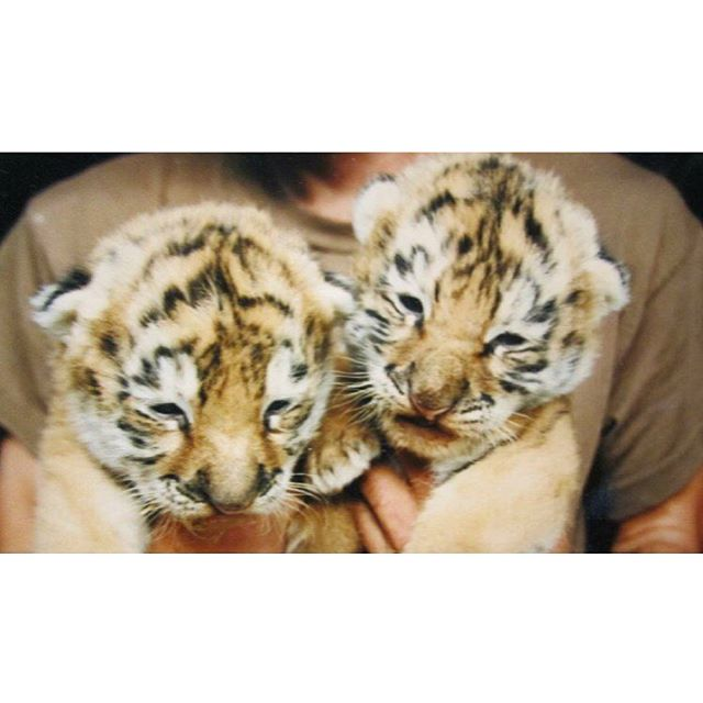 Pictured here are two Siberian Tiger kittens, born at Polar Park during the 80's. #SaveTigers #polarparkbrewing