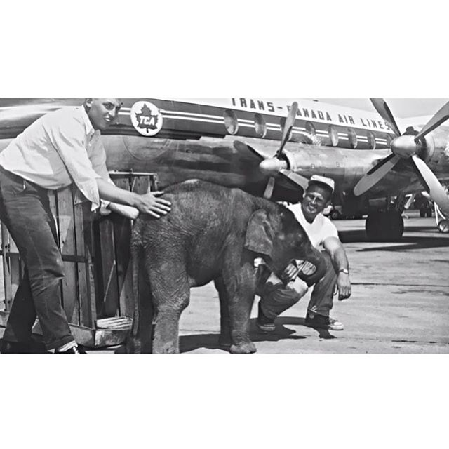 We love #YEG history. Meet Pachy, (short for Pachyderm) our elephant circa 1963. #ABPride #polarparkbrewing