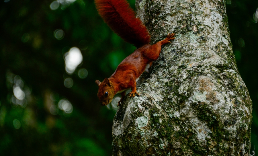 Red squirrel, classified as Near Threatened in England, Wales and Northern Ireland.