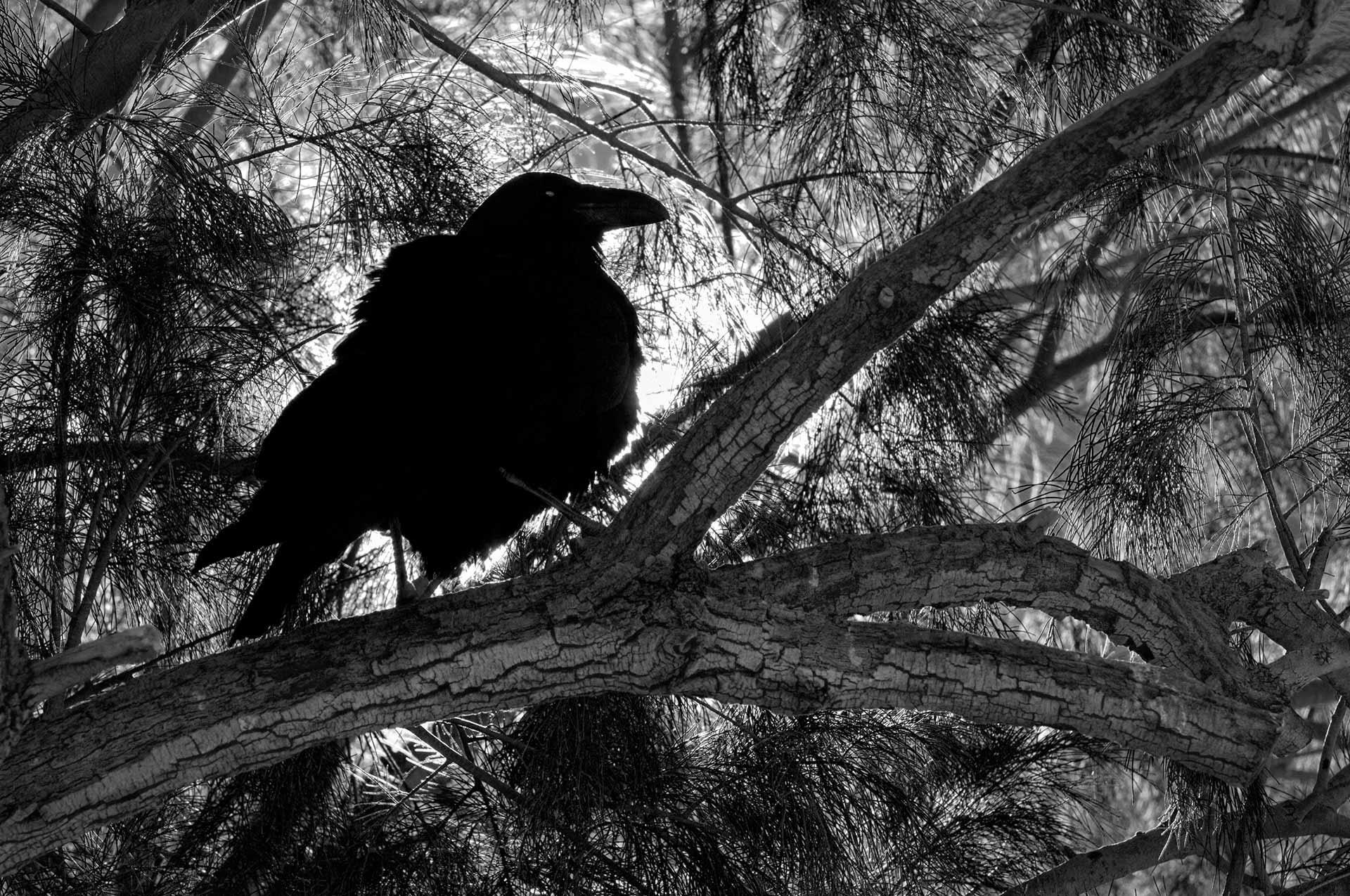GARY ZUERCHER  - San Clemente, CA   Desert Raven   photography, $400