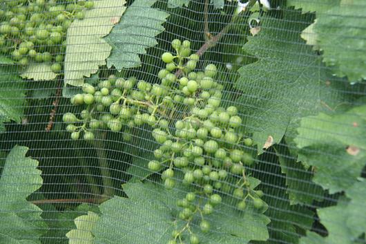 grapes_2398