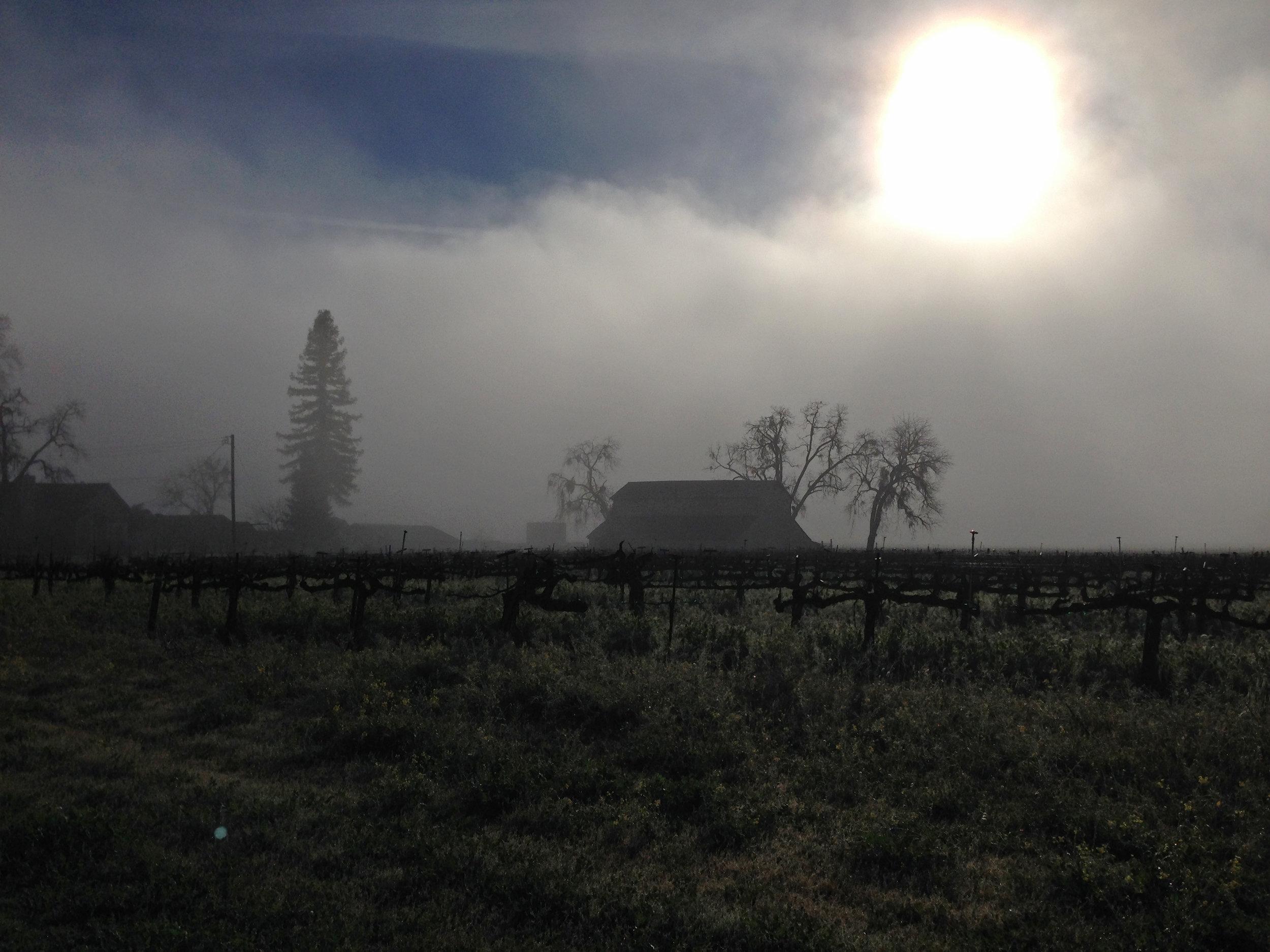 Wafting morning fog on Oakville Road