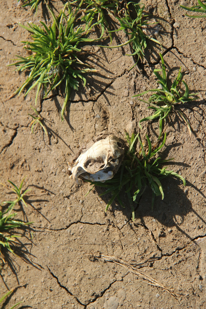 my vole skull, one of 2400 consumed by barn owls in trefethen's vineyards every year.