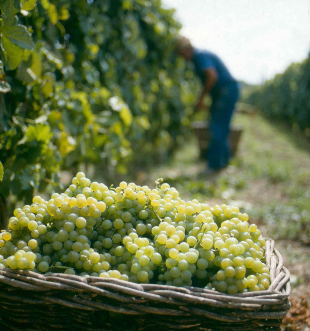Moscato grapes: As good for eating as for drinking. Photo courtesy Saracco winery