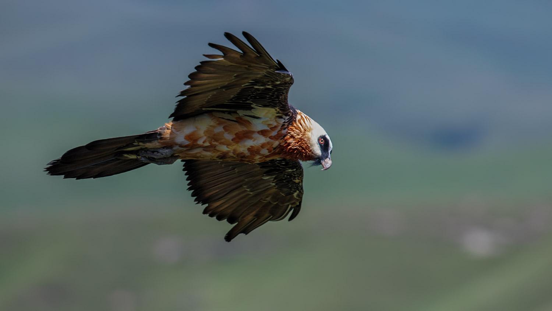 Bearded Vulture Profile