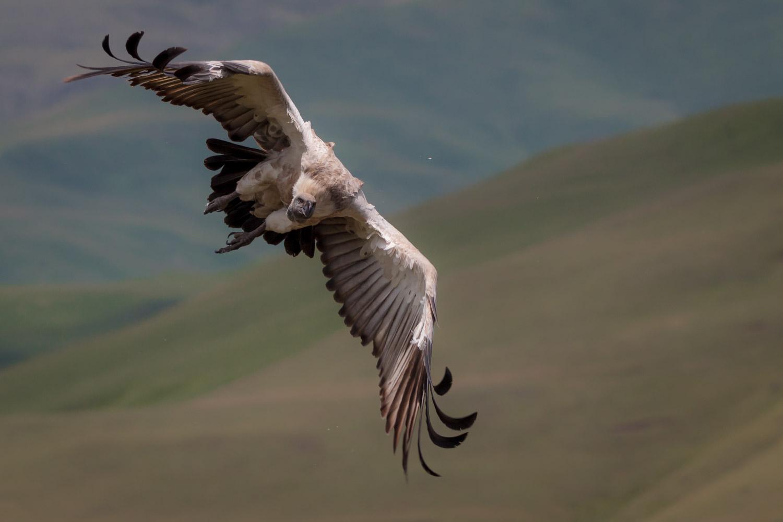 Cape Vulture in Flight