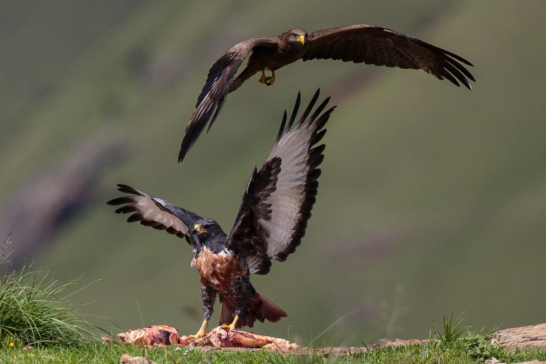 Jackal Buzzard & Kite