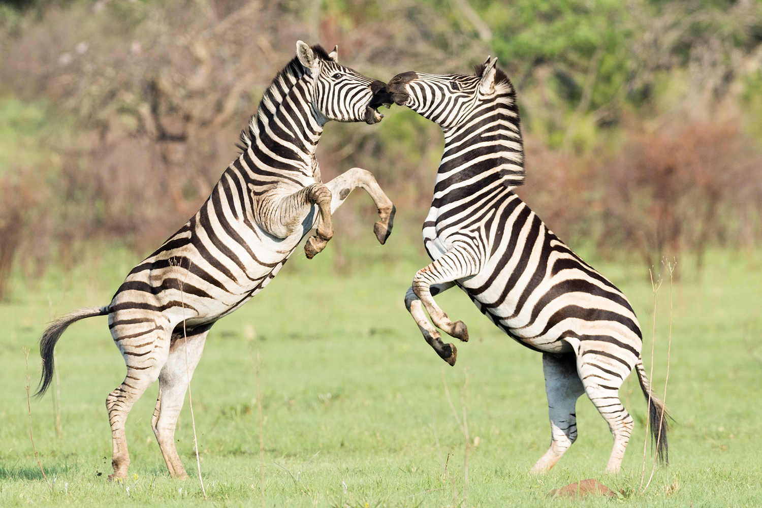 A pair of sparring Zebra, Rietvlei Nature Reserve, South Africa.
