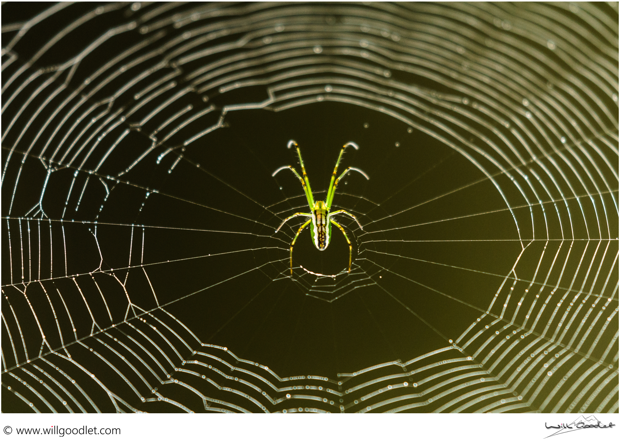 Silver Vlei Spider, Woodbush Indigenous Forest, Magoebaskloof, South Africa.