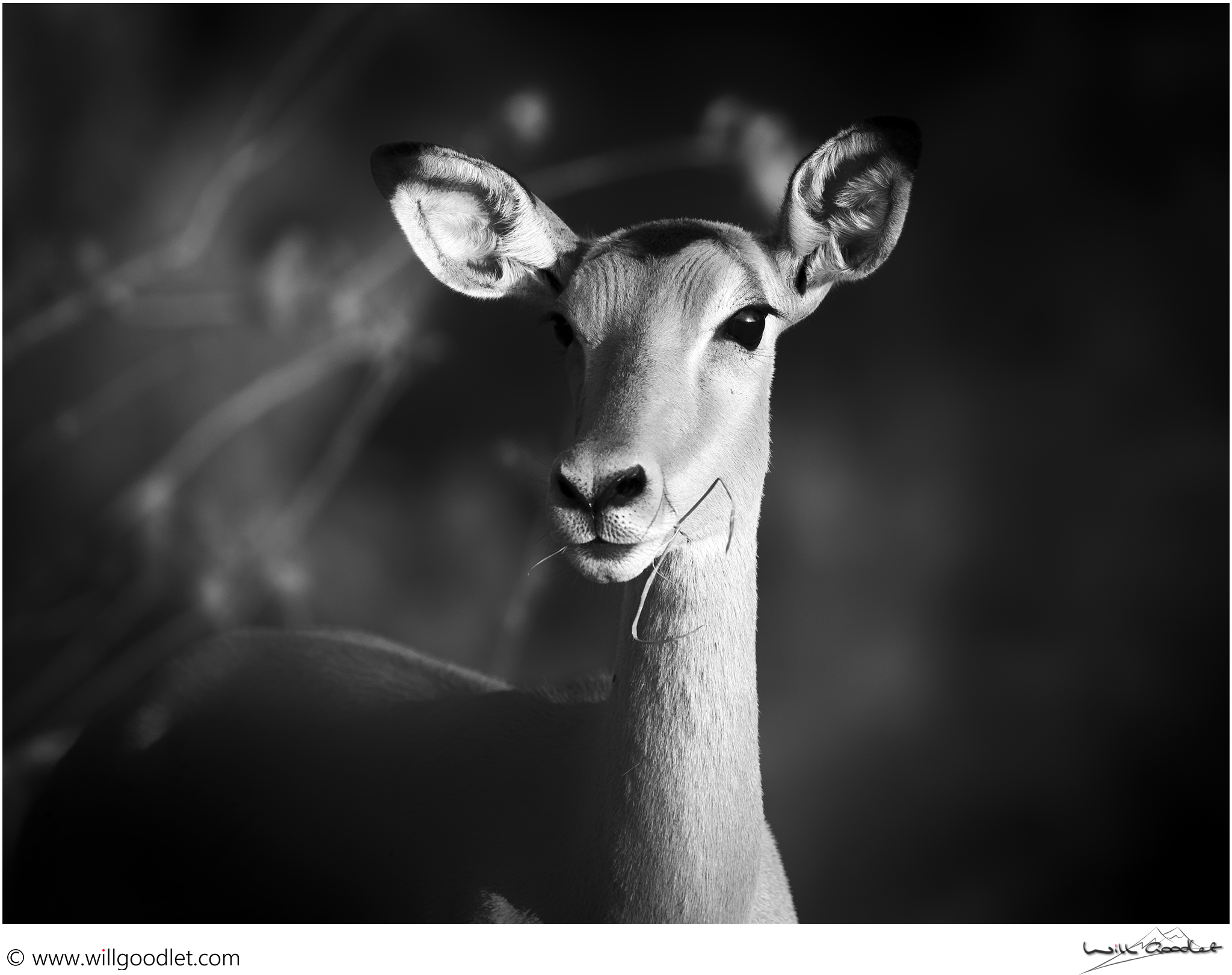 Female impala posing in the last rays of sunset.