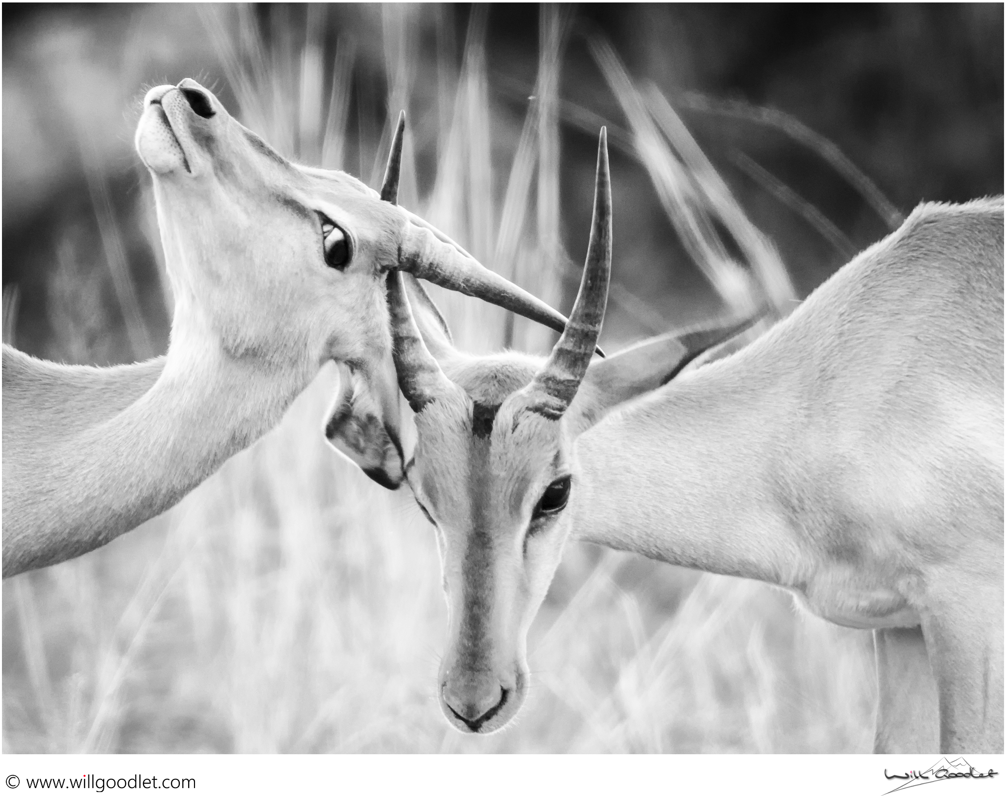 Young impala rams testing strength