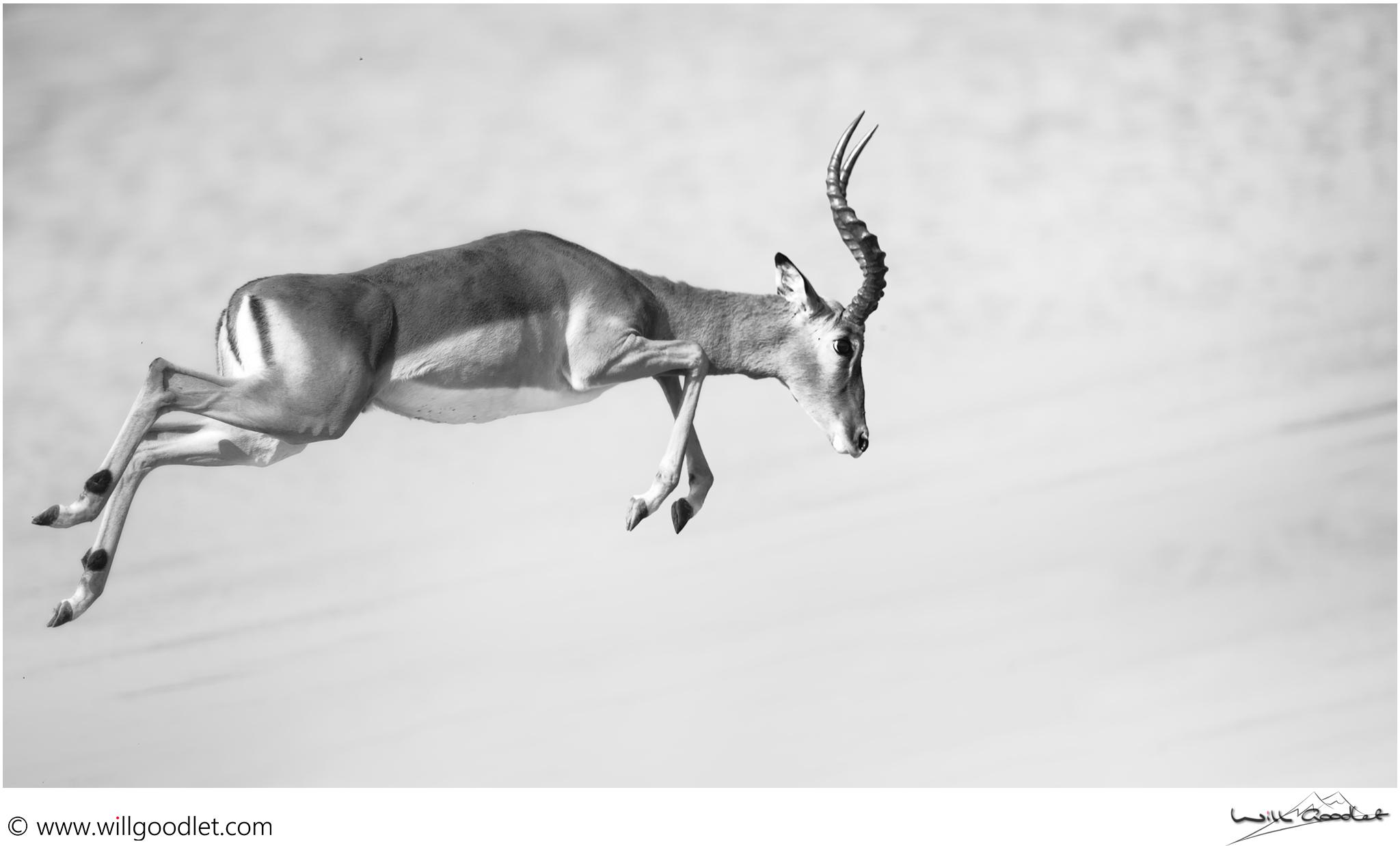 Male impala escaping predators at Nkaya pan.