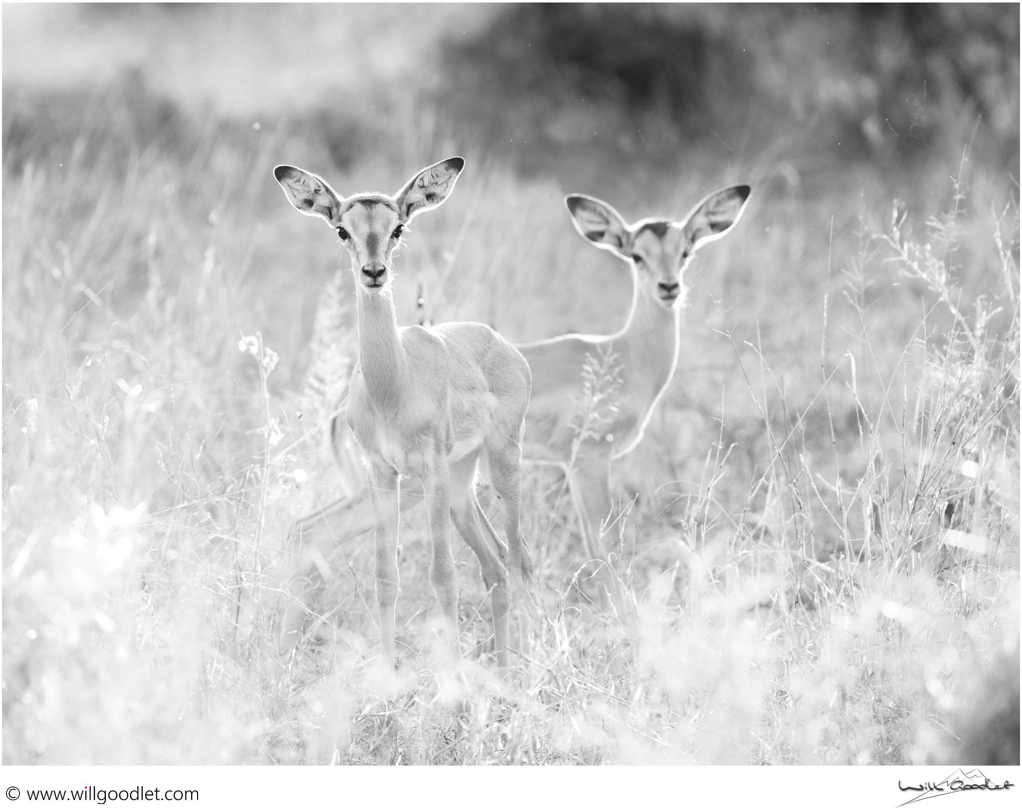 Two impala lambs at last light.