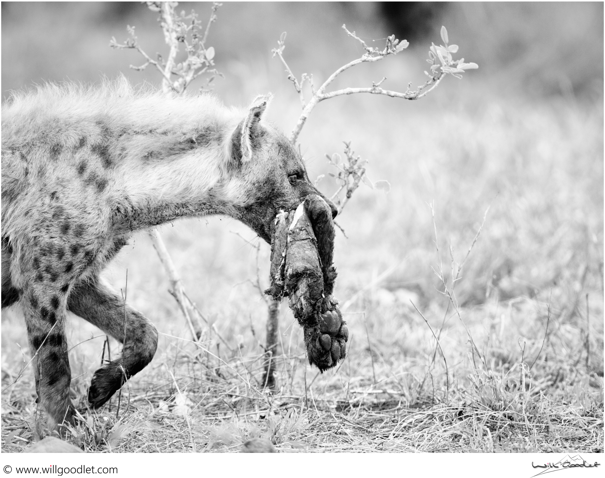 A day later, a Hyena carries its' brutal trophy. Do you recognise it?