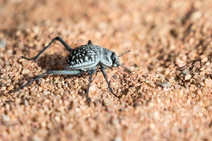 Namibrand Nature Reserve, Tok Tokkie Beetle.