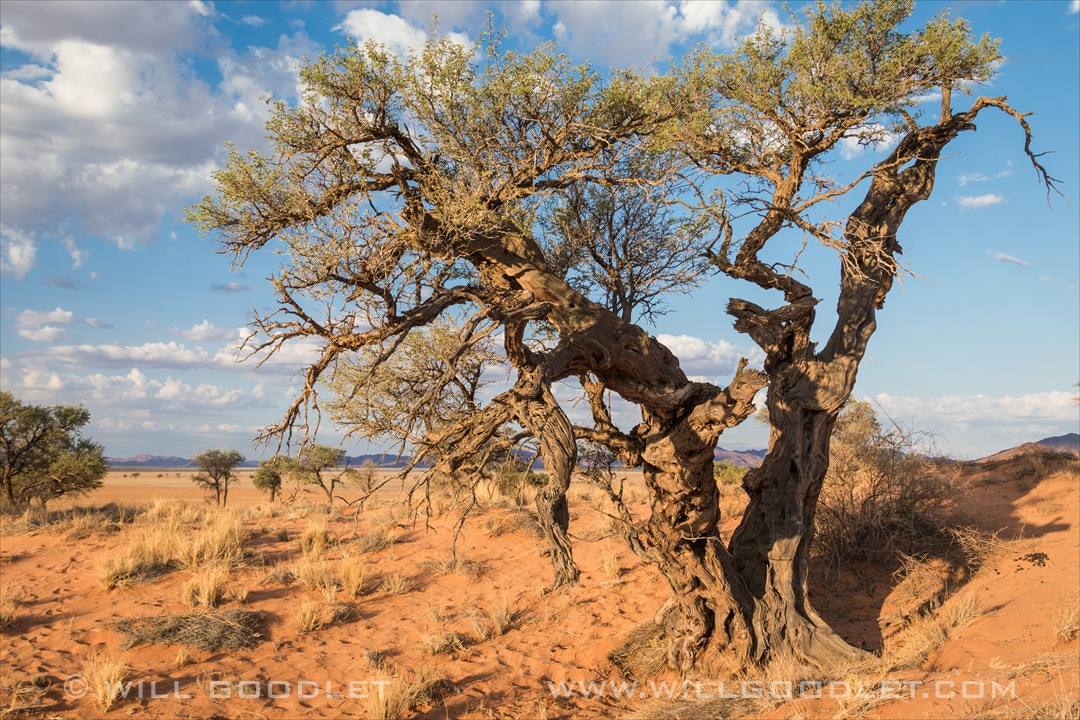 Namibrand Nature Reserve, old Camel thorn tree.