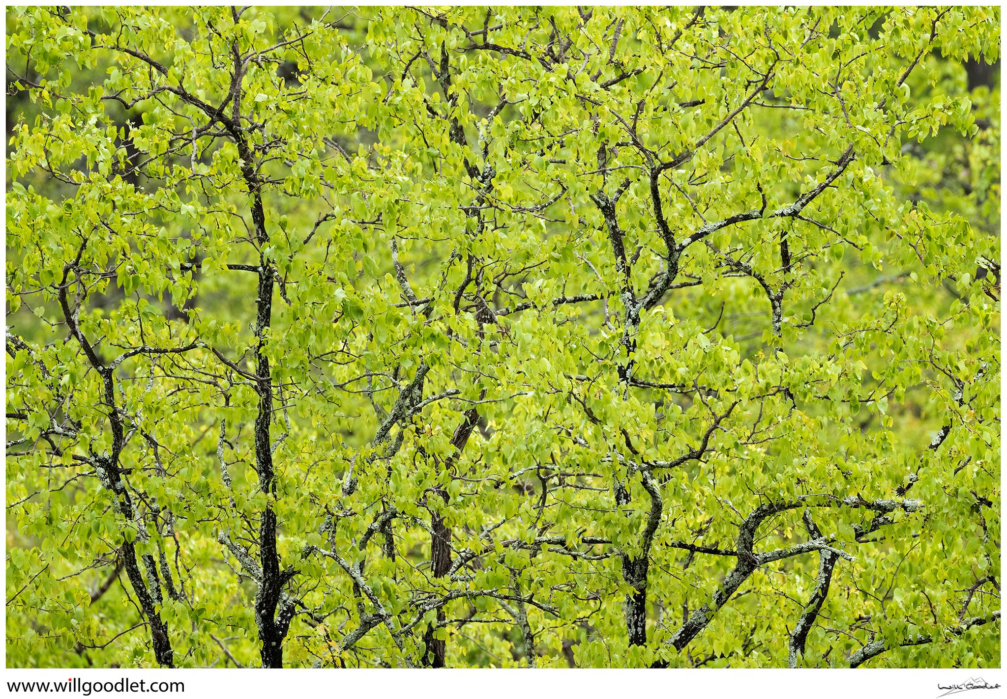 Tsendze Rustic Camp, fresh green mopane leaves in spring.