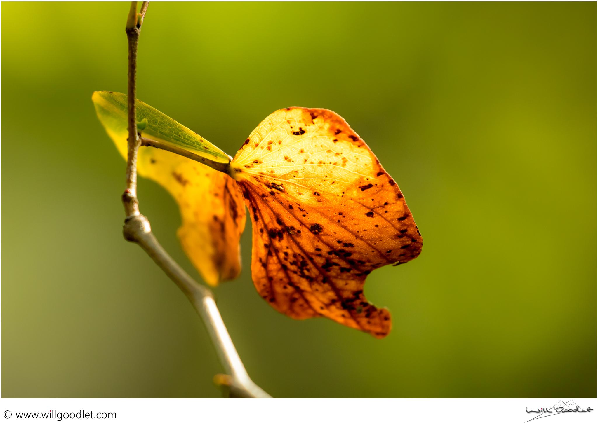 Tsendze Rustic Camp, Mopane Leaf bitterfly