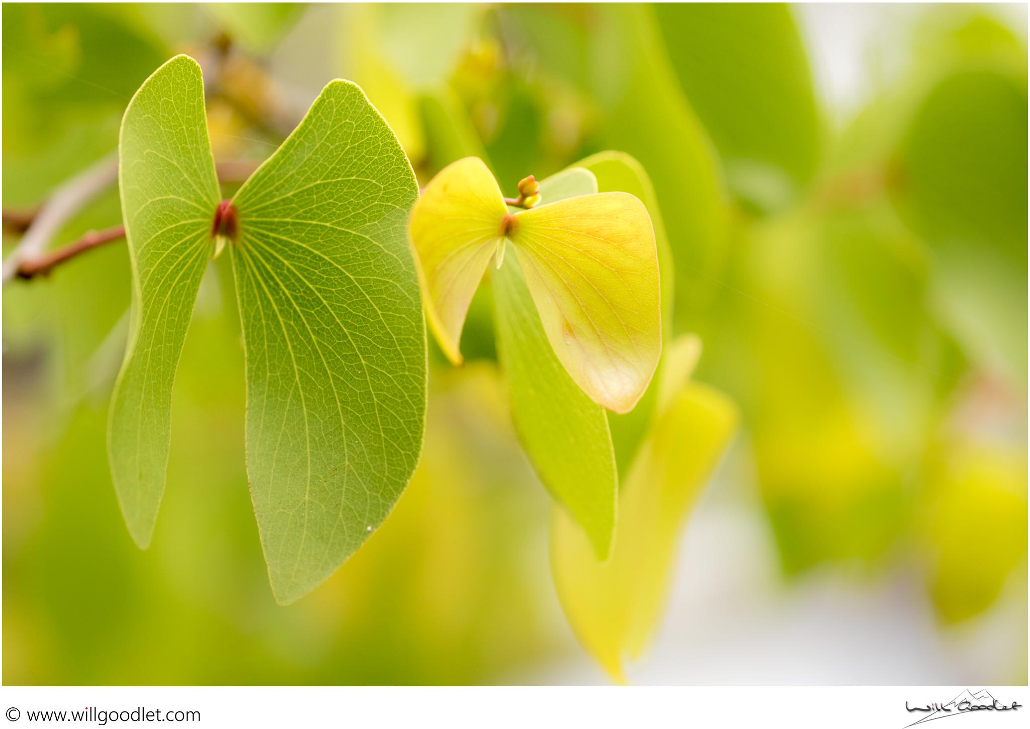 Tsendze Rustic Camp, green mopane leaves in the springtime