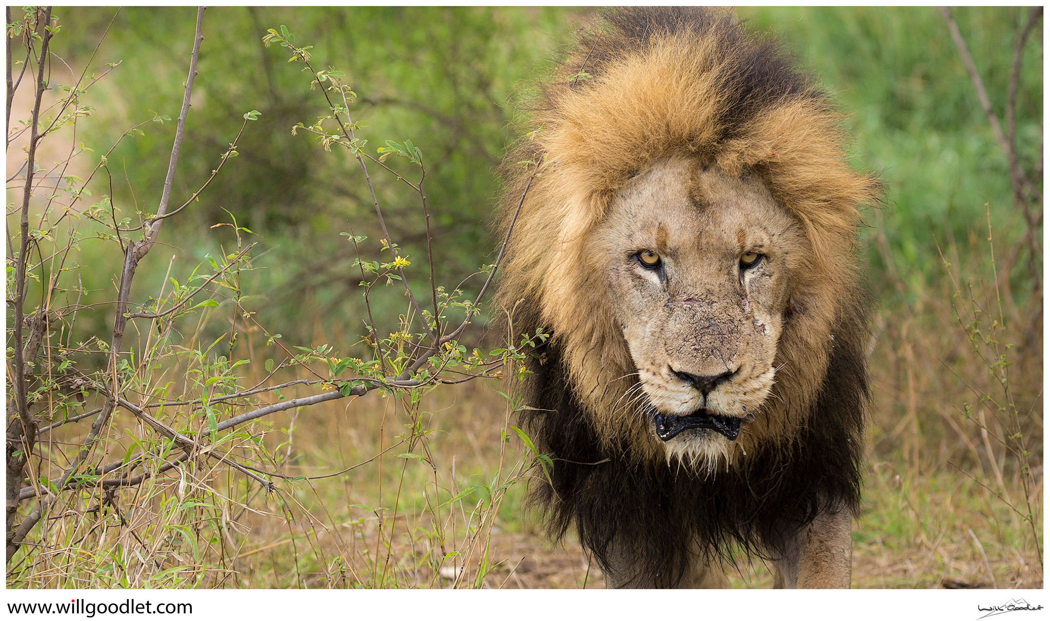 Male Lion emerges from the riverbed, Tsendze, Kruger National Park.