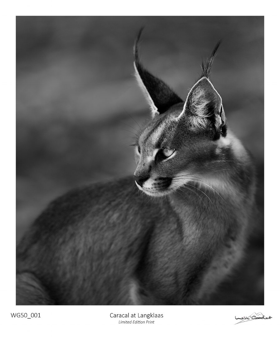 Fine art print - Caracal at Langklass (Limited to 50)