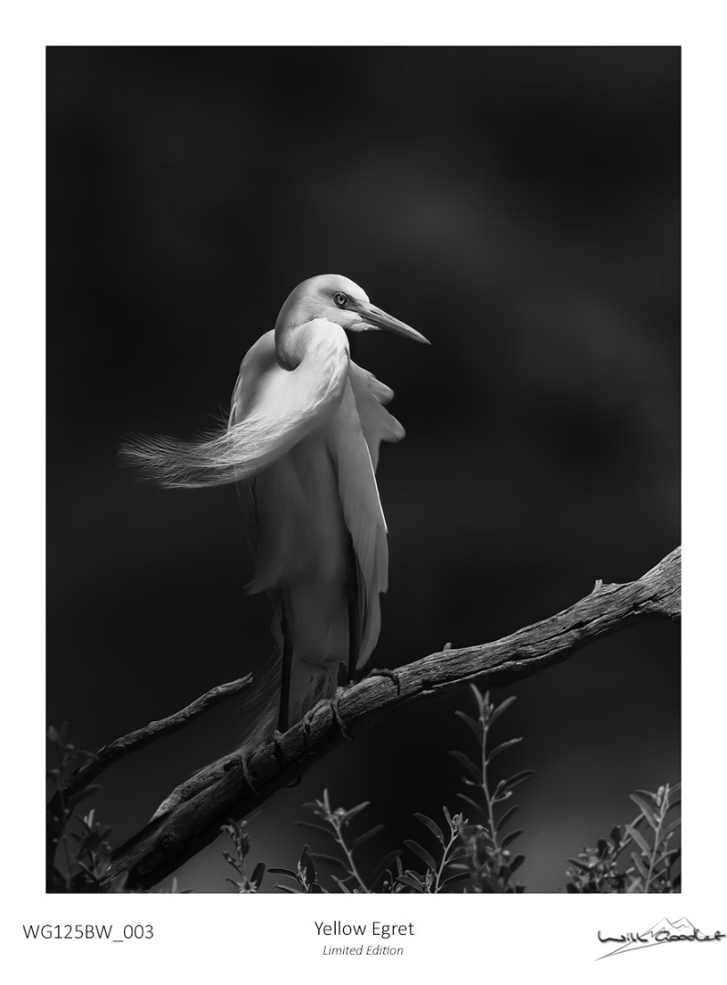 Fine art print - Yellow Egret (Limited to 125)