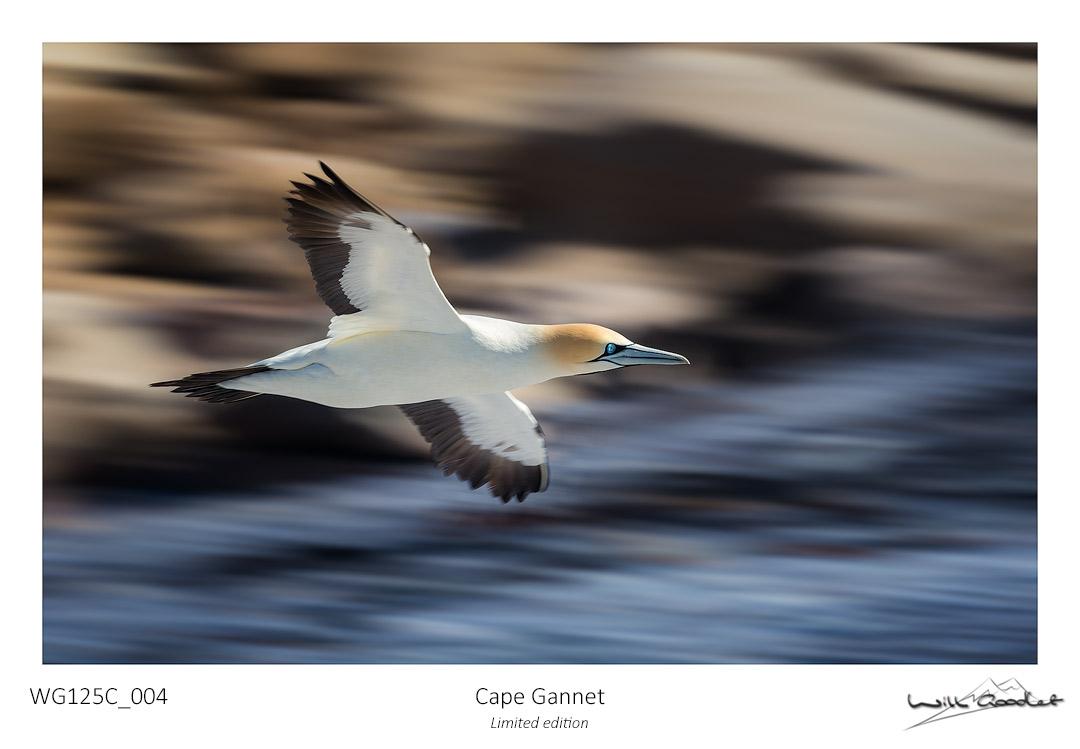Fine art print - Cape Gannet (Limited to 125)