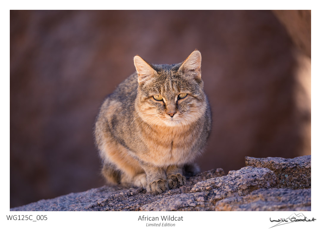 Fine art print - African Wildcat (Limited to 125)