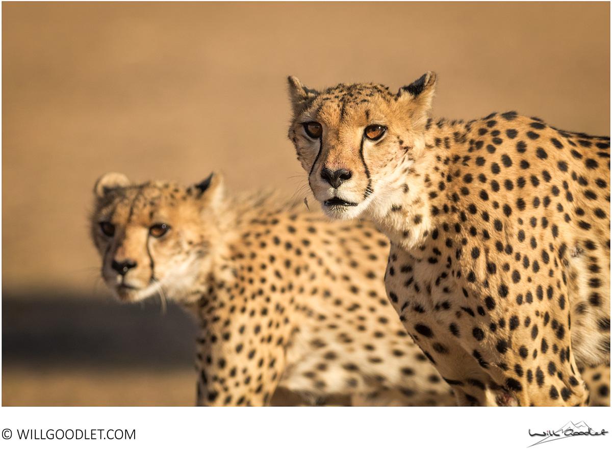 Cheetah, Kgalagadi Transfrontier Park, South Africa.