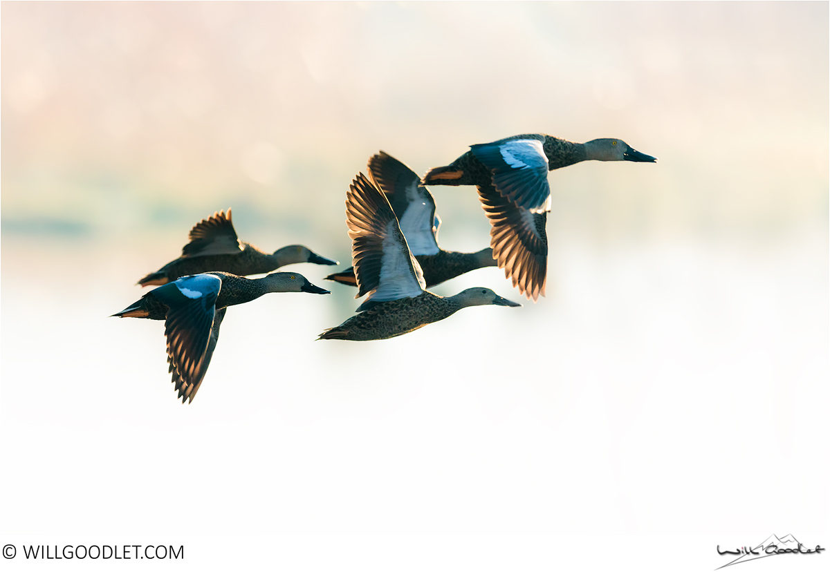 Cape Shovelers backlit by the morning light, Marievale, South Africa.