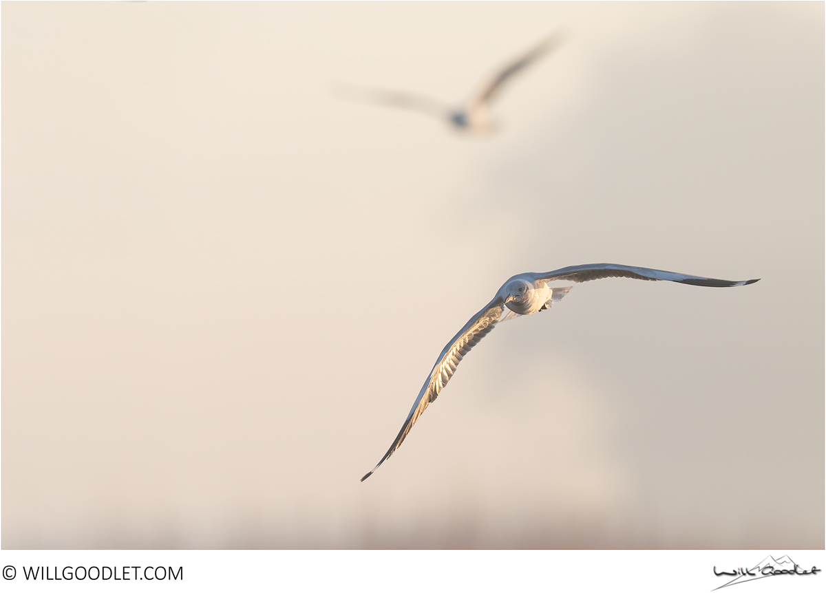 Pair of gulls at sunrise, Marievale, South Africa.