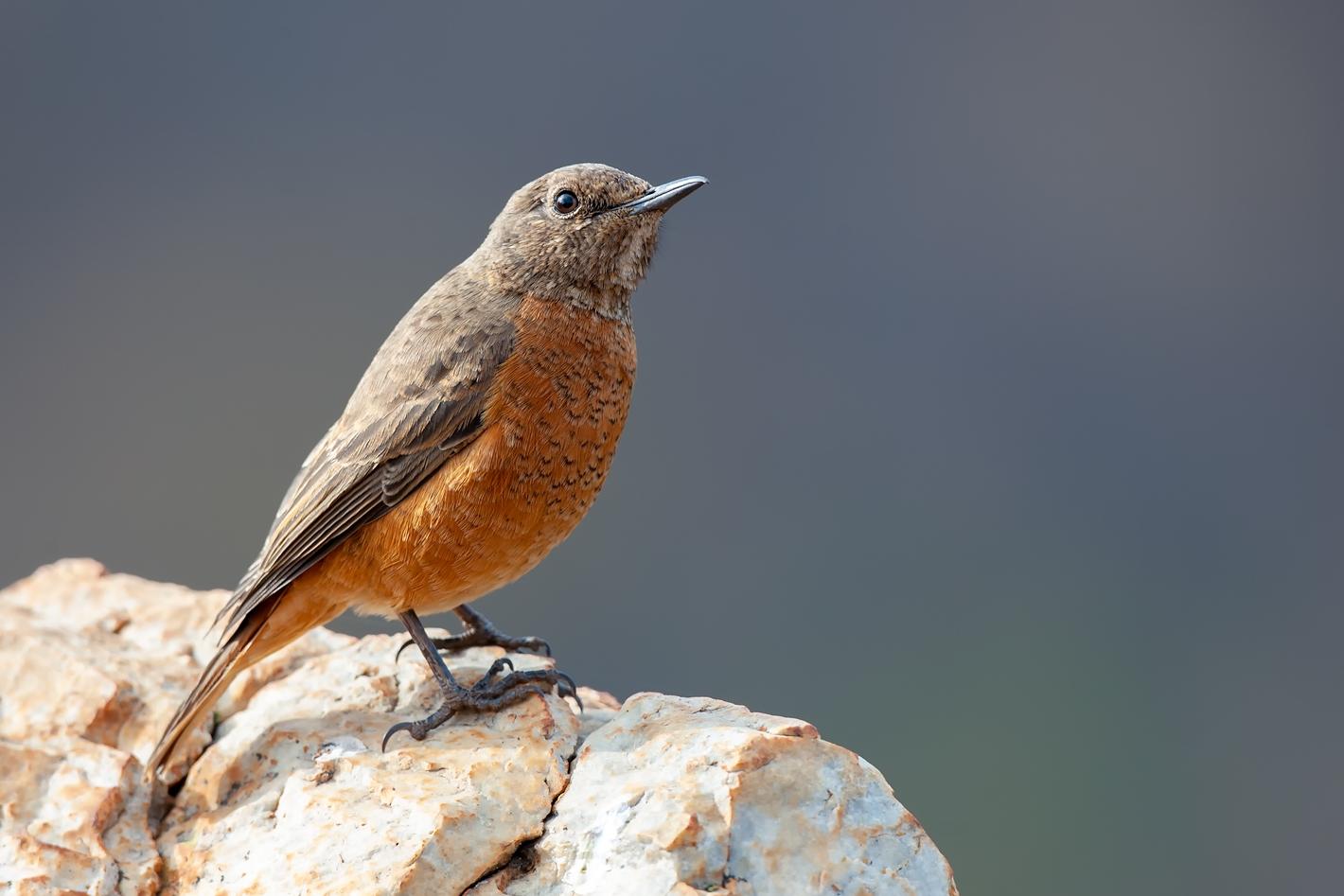 Cape Rock Thrush