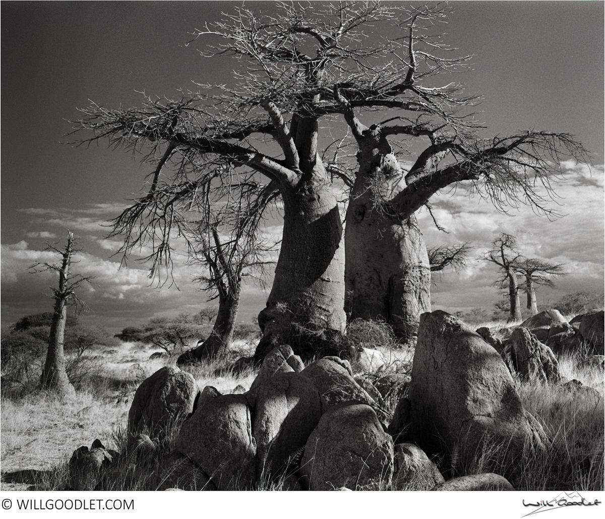 Baobabs, Kodak Tri-X 400