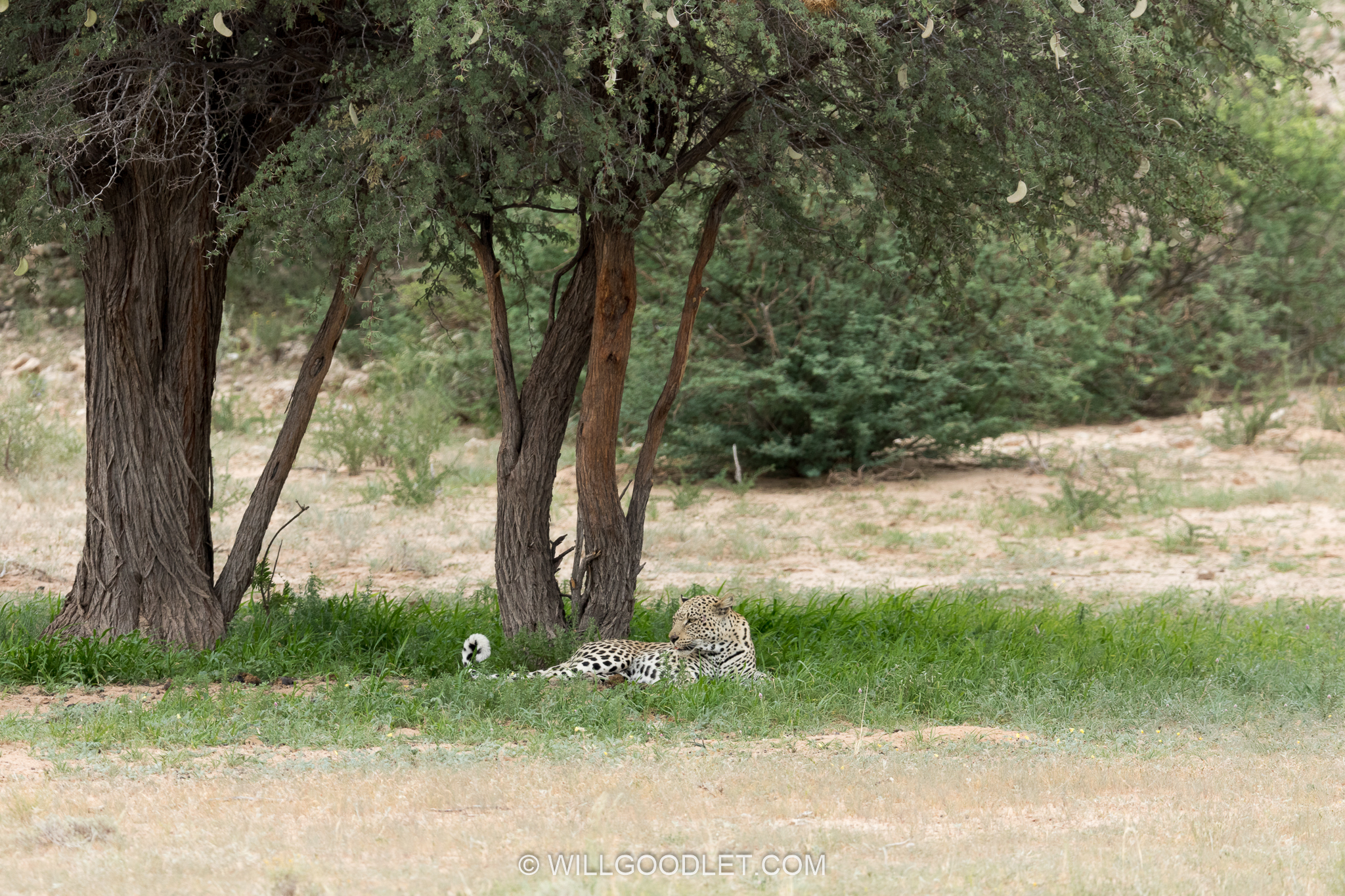 Original - distant leopard Auob valley, Kgalagadi