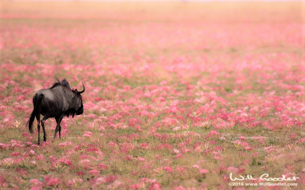 Wildebeest in a field of lilies