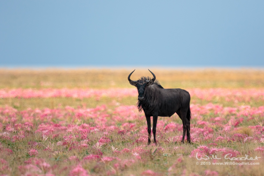 Wildebeest amongst lilies
