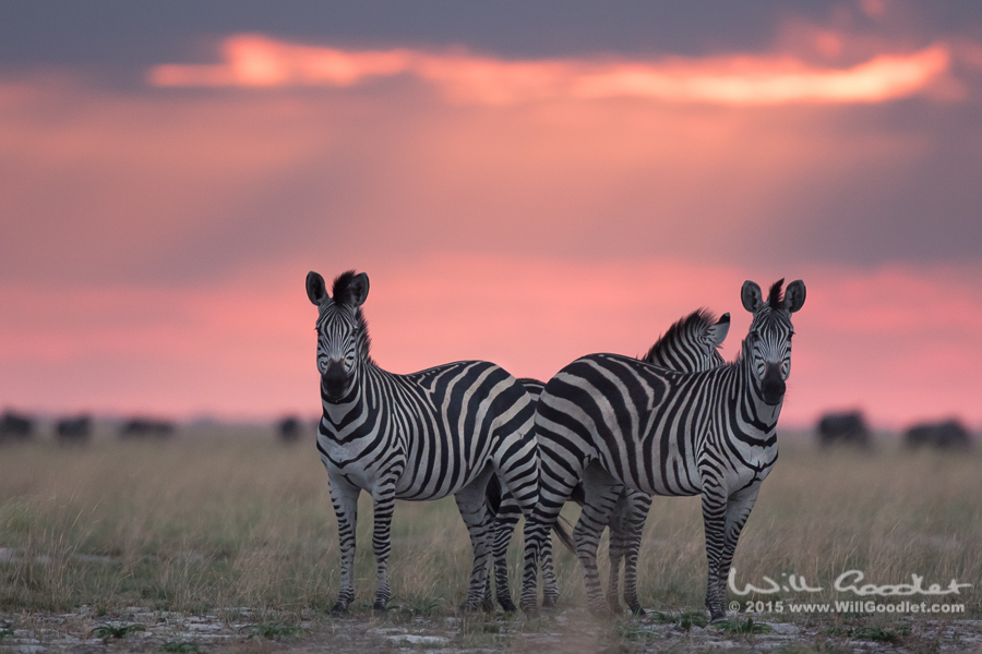 Zebra wary of hunting hyena close by