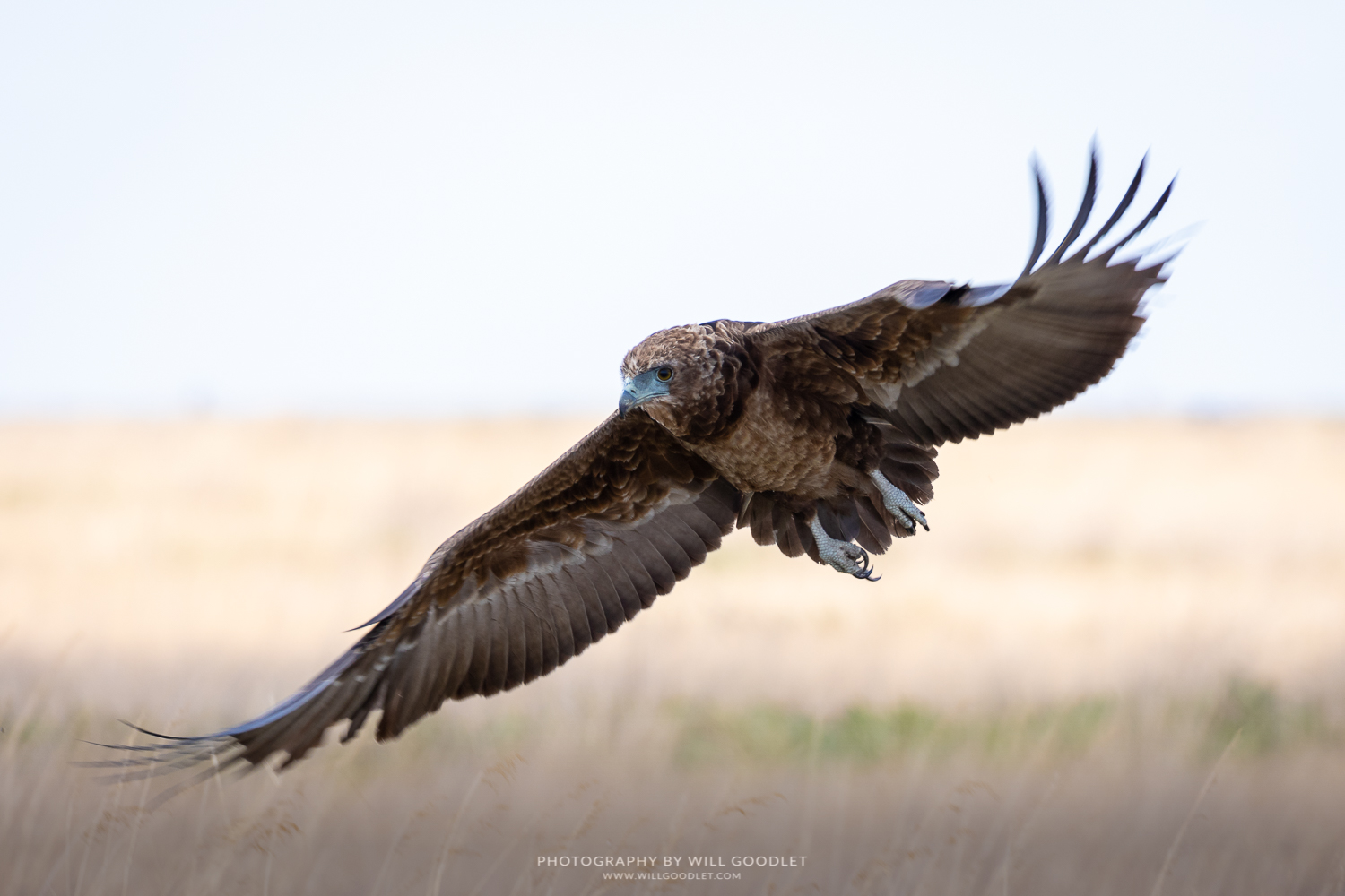 An immature Bateleur takes flight.