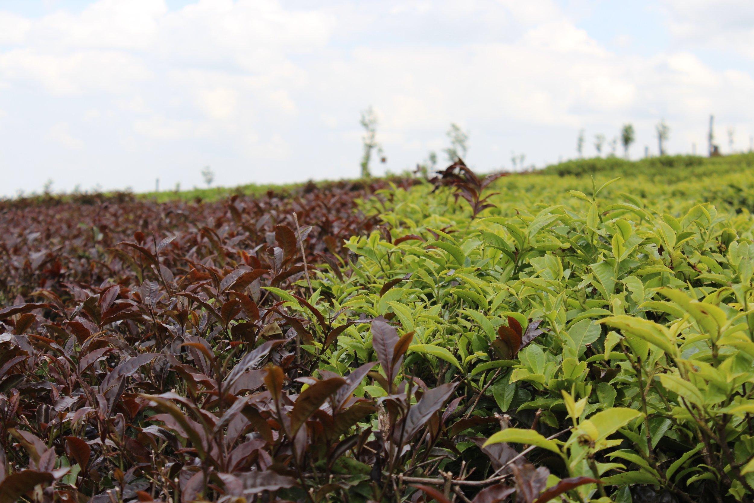 Photo of tea farm courtesy of JusTea