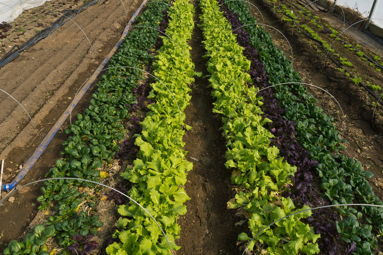 meslcun mix with new plantings of spinach to the left, photo by Adam Ford