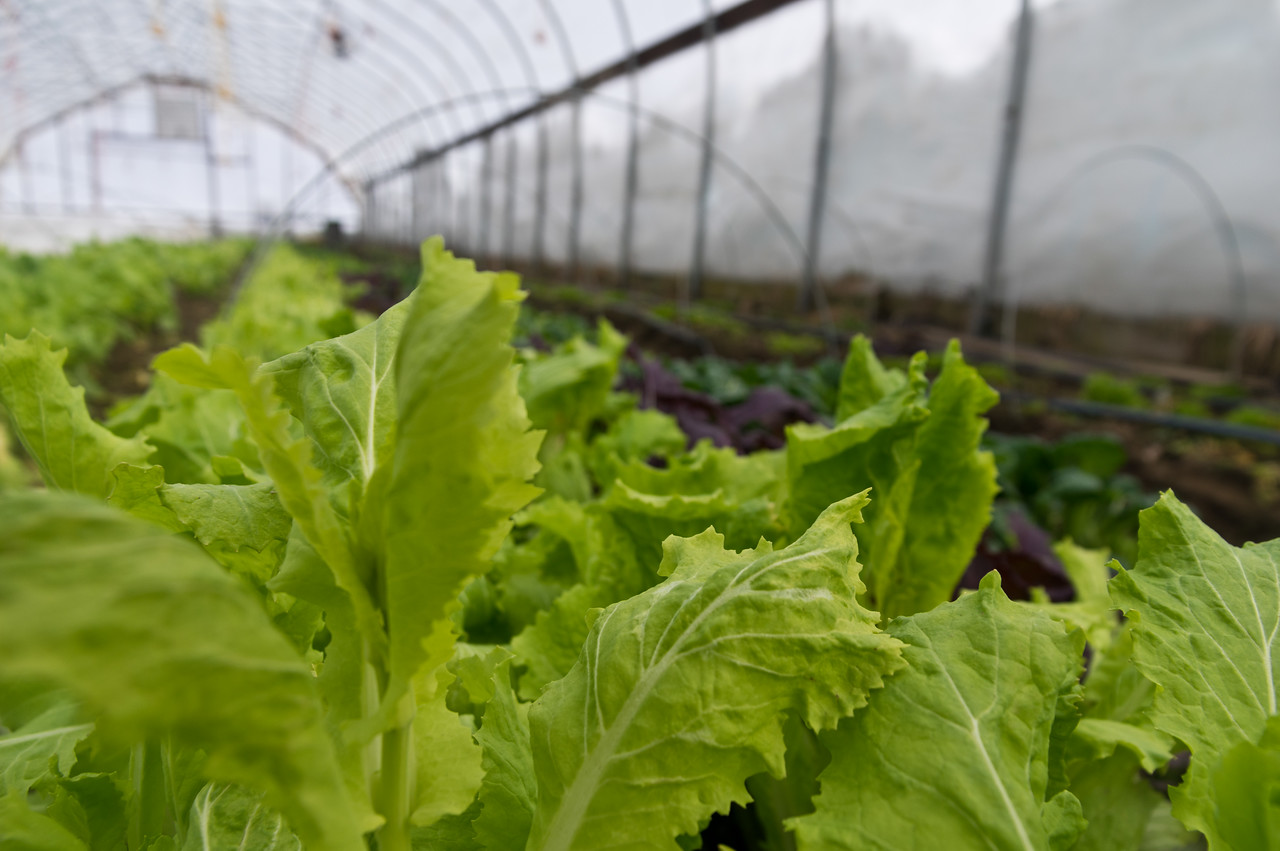Japanese lettuce growing in the tunnel, photo by Adam Ford.