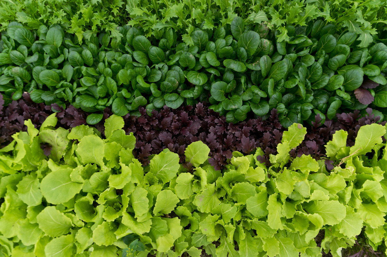 beautiful mesclun waiting to be harvested for this weekend, photo by Adam Ford