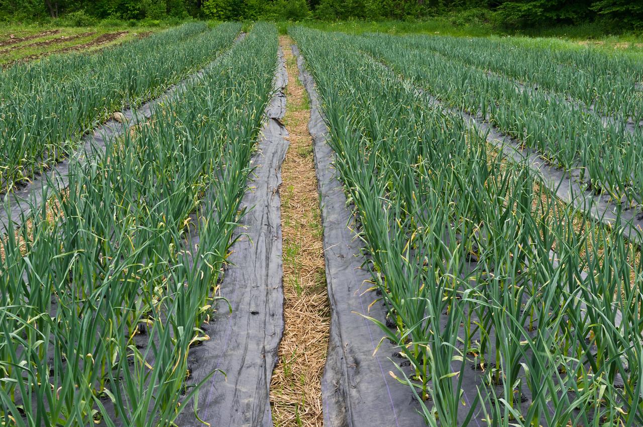 garlic field looking good! photo by Adam Ford