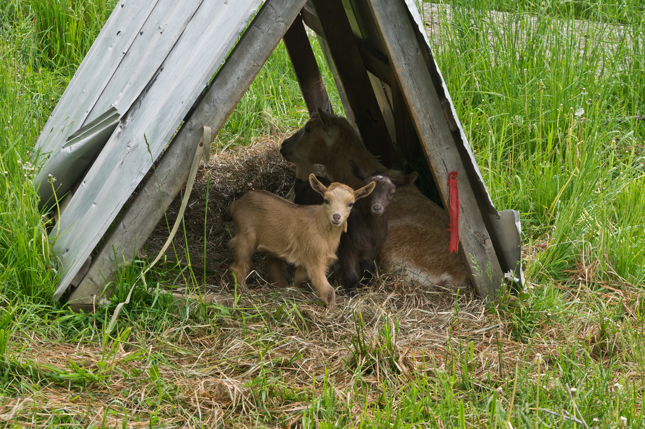 In case you forgot how cute baby goats are... here they are chilling with mama in the pasture, photo by Adam Ford