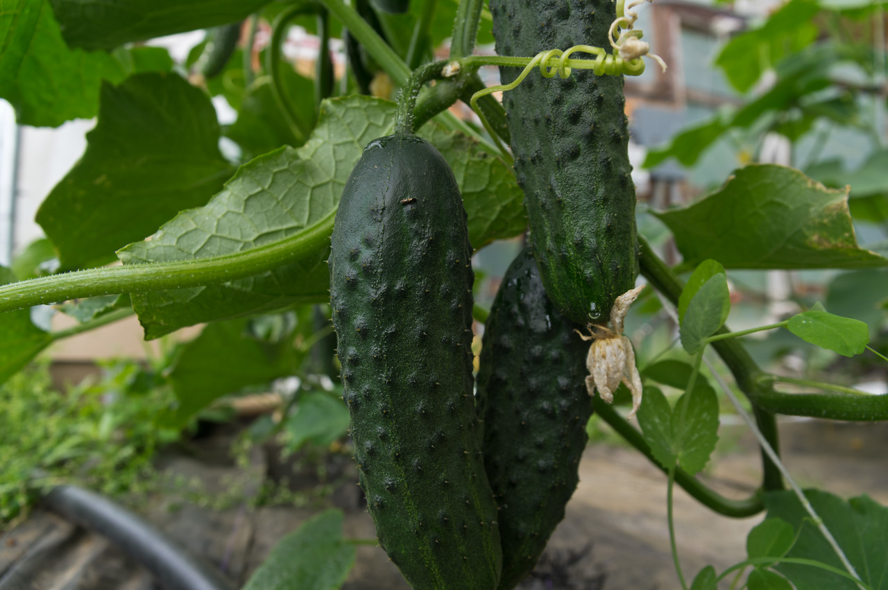 look at this ridiculously early fruit! photo by Adam Ford